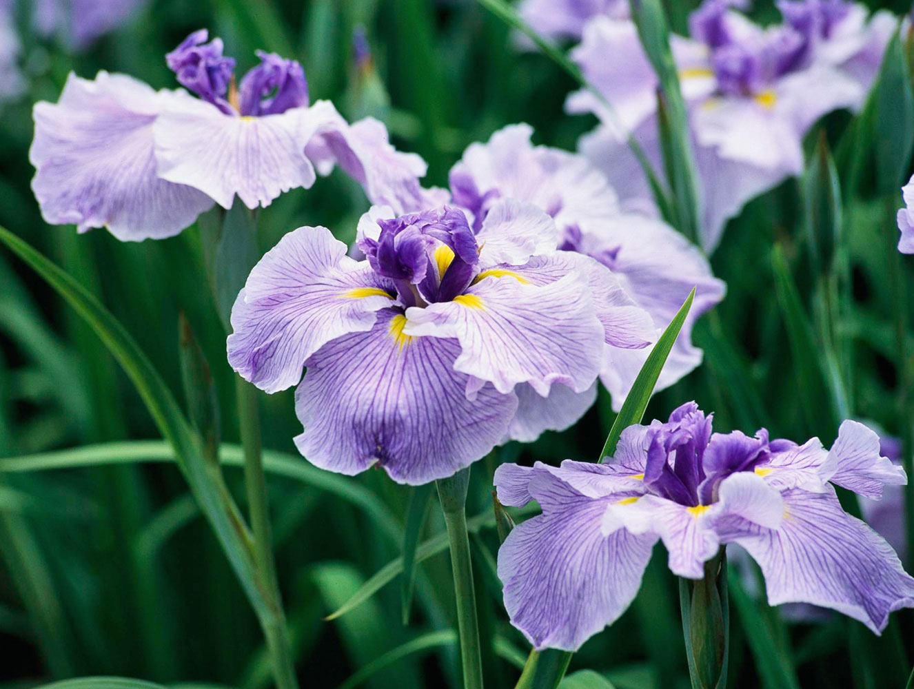 Japanese iris petal variations