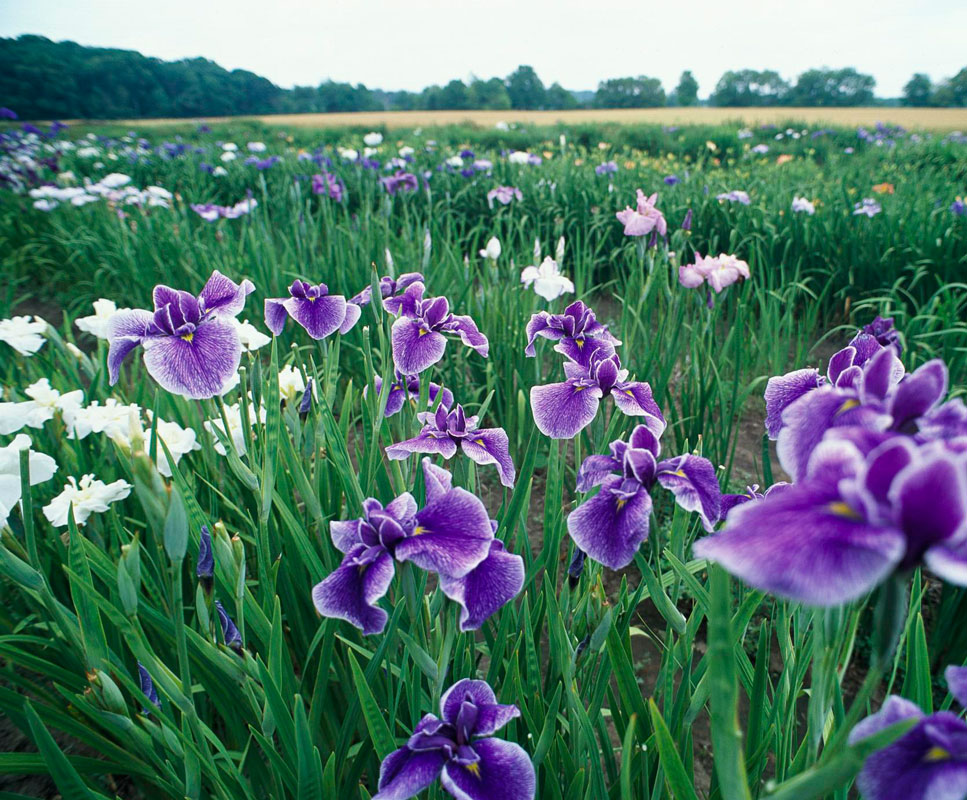 A Midwest iris