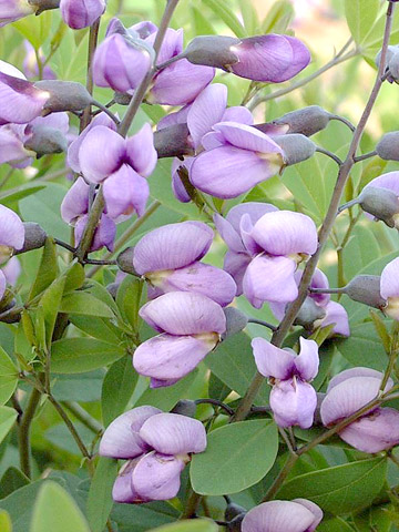 Low-maintenance Baptisia