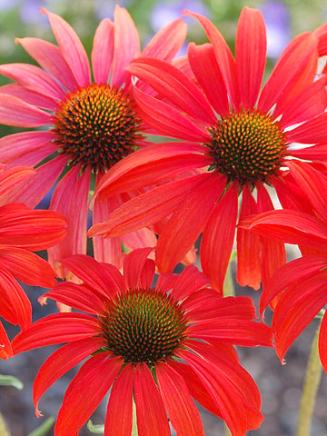 Echinacea: More sizes, shapes and colors