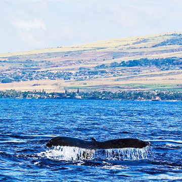 Hawaii: Tales of Whales