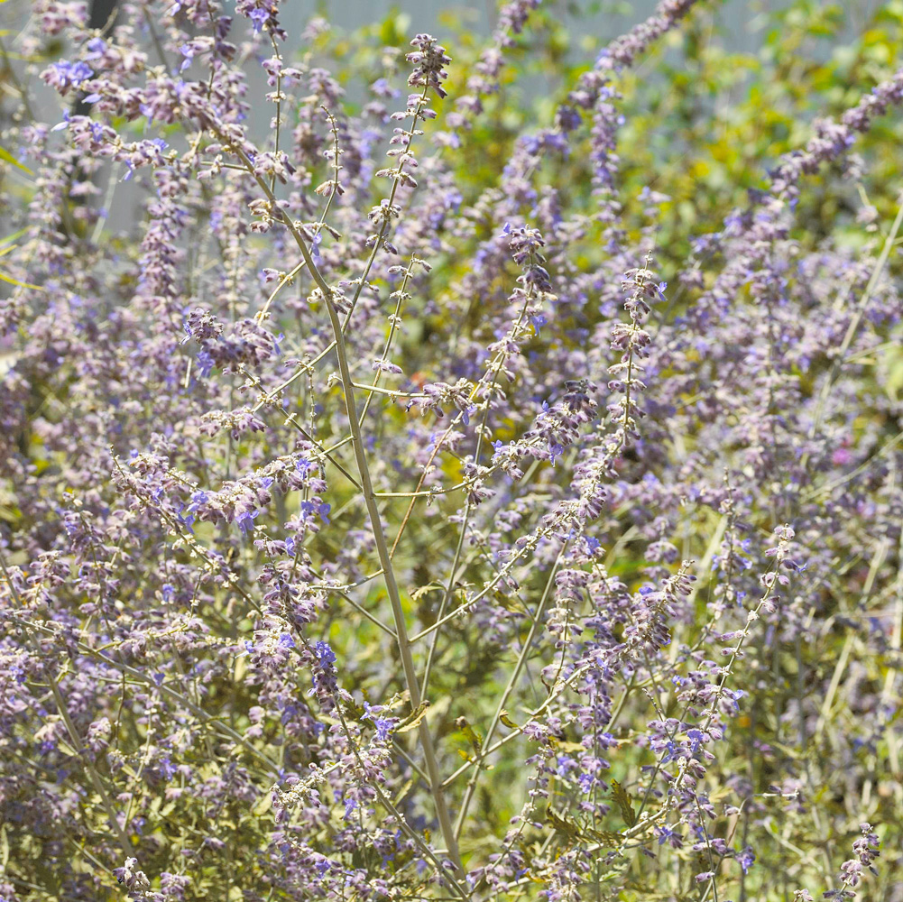 Silvery Russian sage