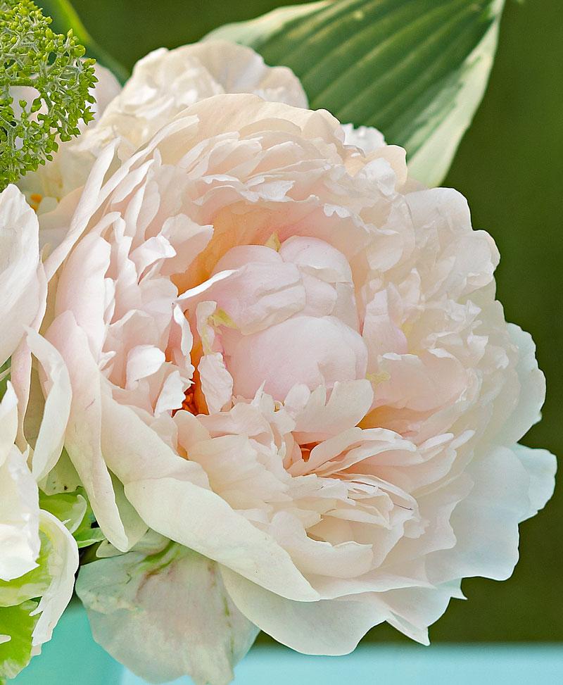 Top peonies: 'Serene Pastel'