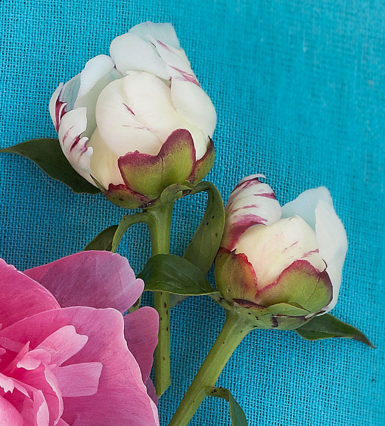 Top peonies: 'Ivory Escort'