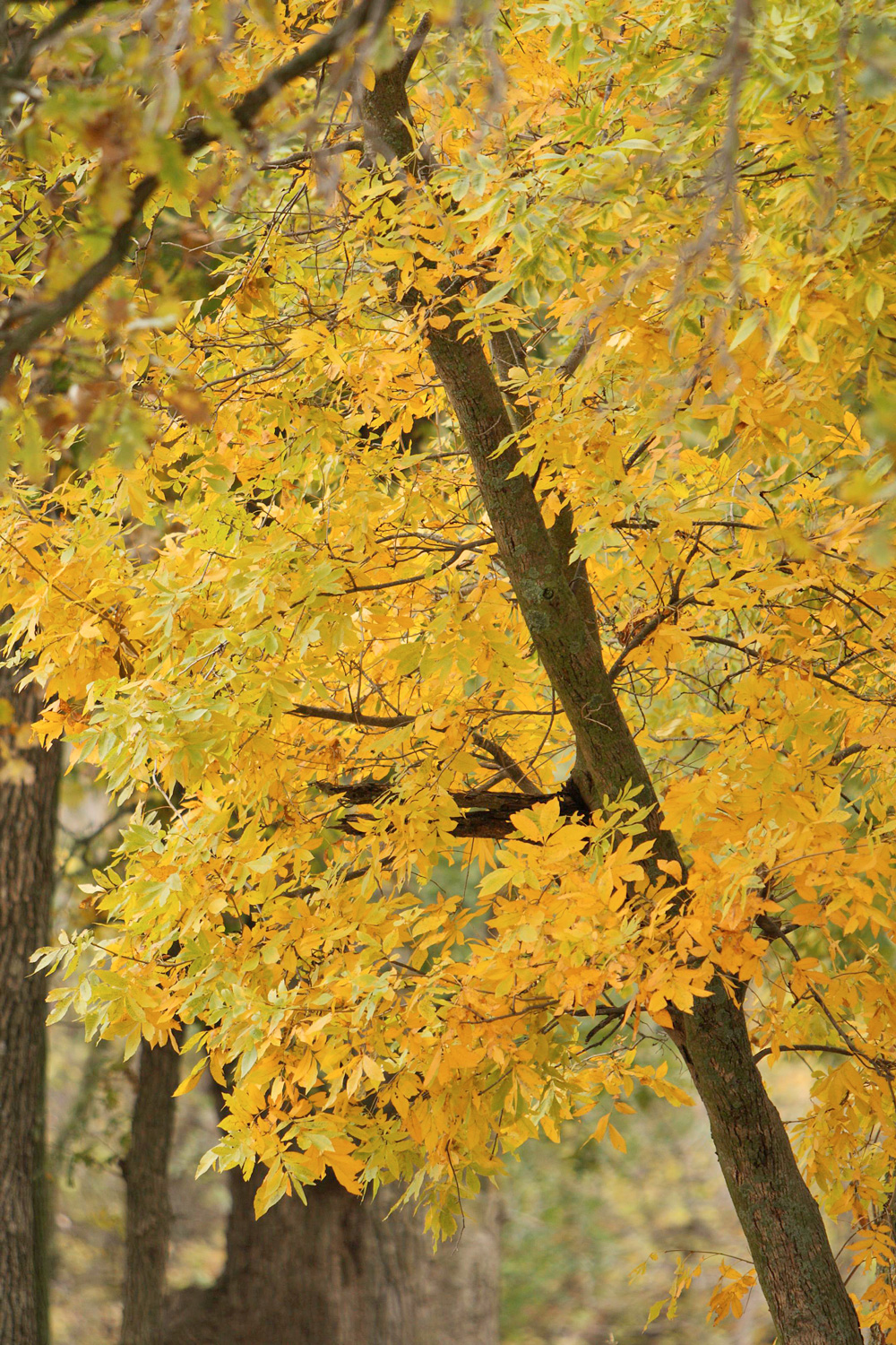 Green ash: fast-growing shade tree