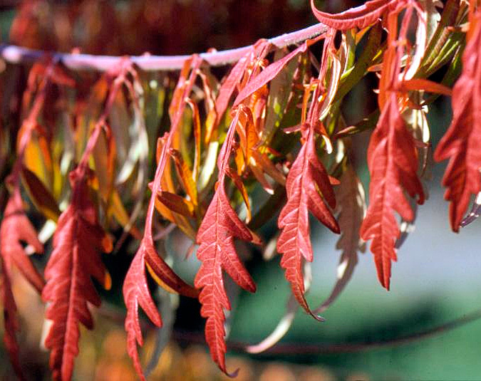 Cutleaf sumac: year-round interest