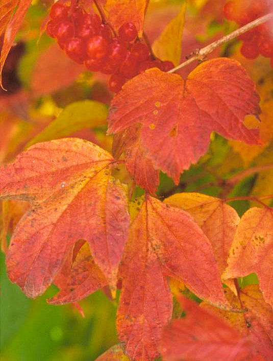 Cranberry bush: red fall foliage