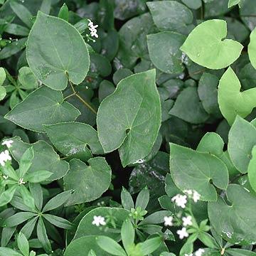 Epimedium plant