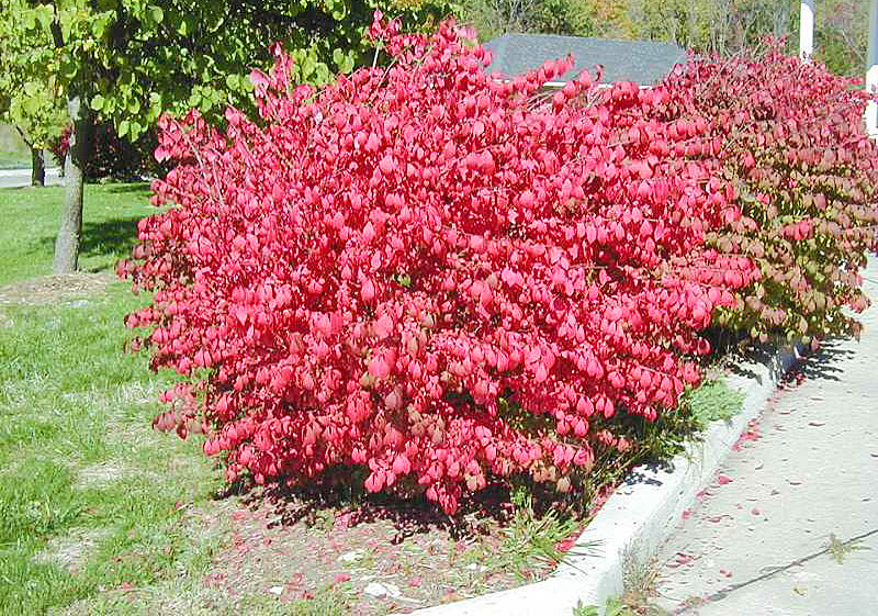 Burning bush: brilliant display