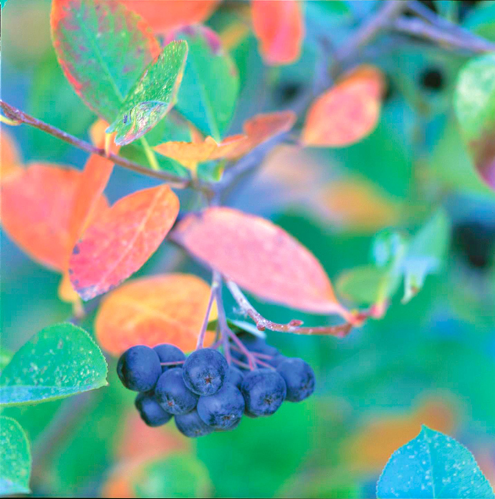 Chokecherry: red leaves, black fruit