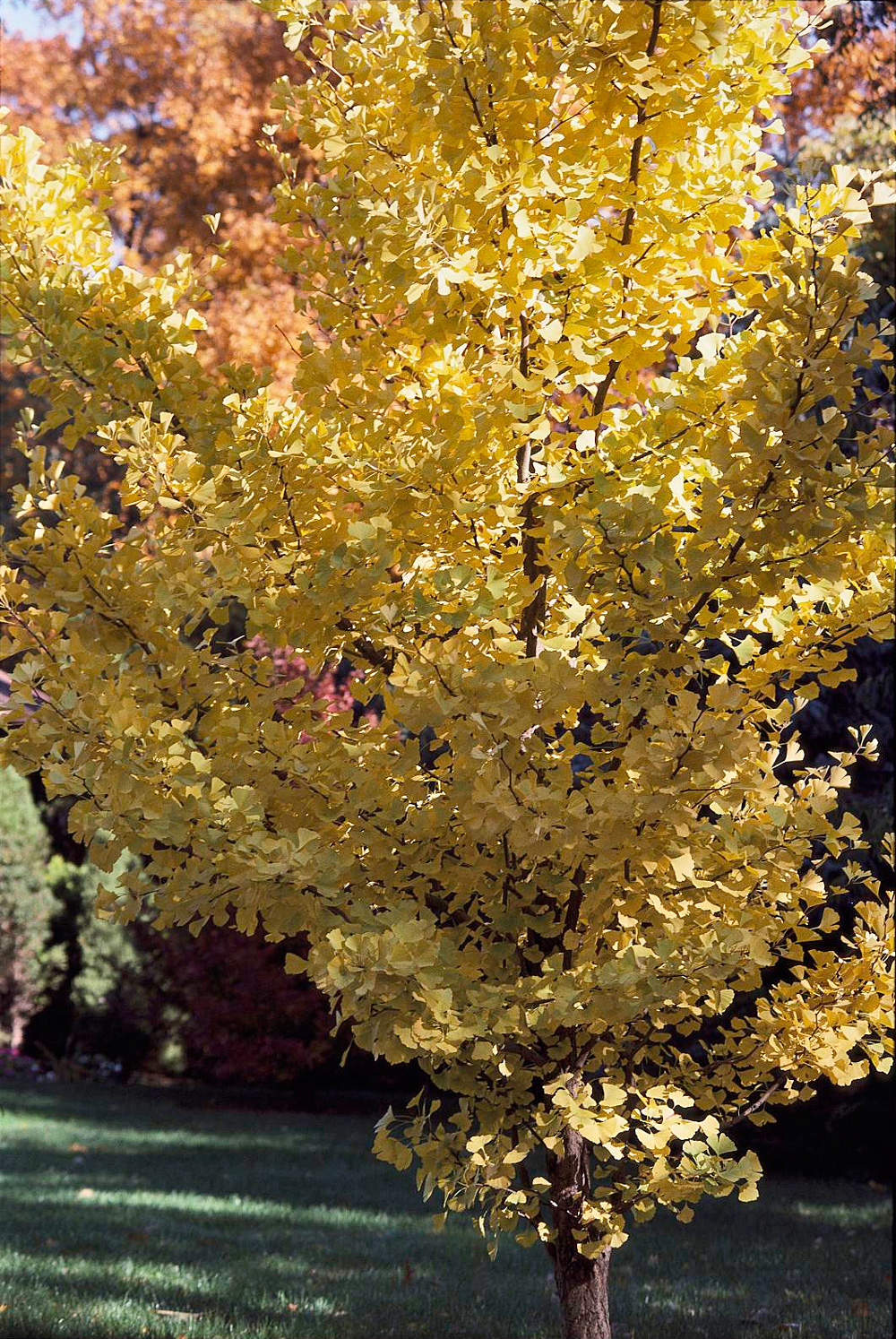 Ginkgo biloba: yellow fall fans