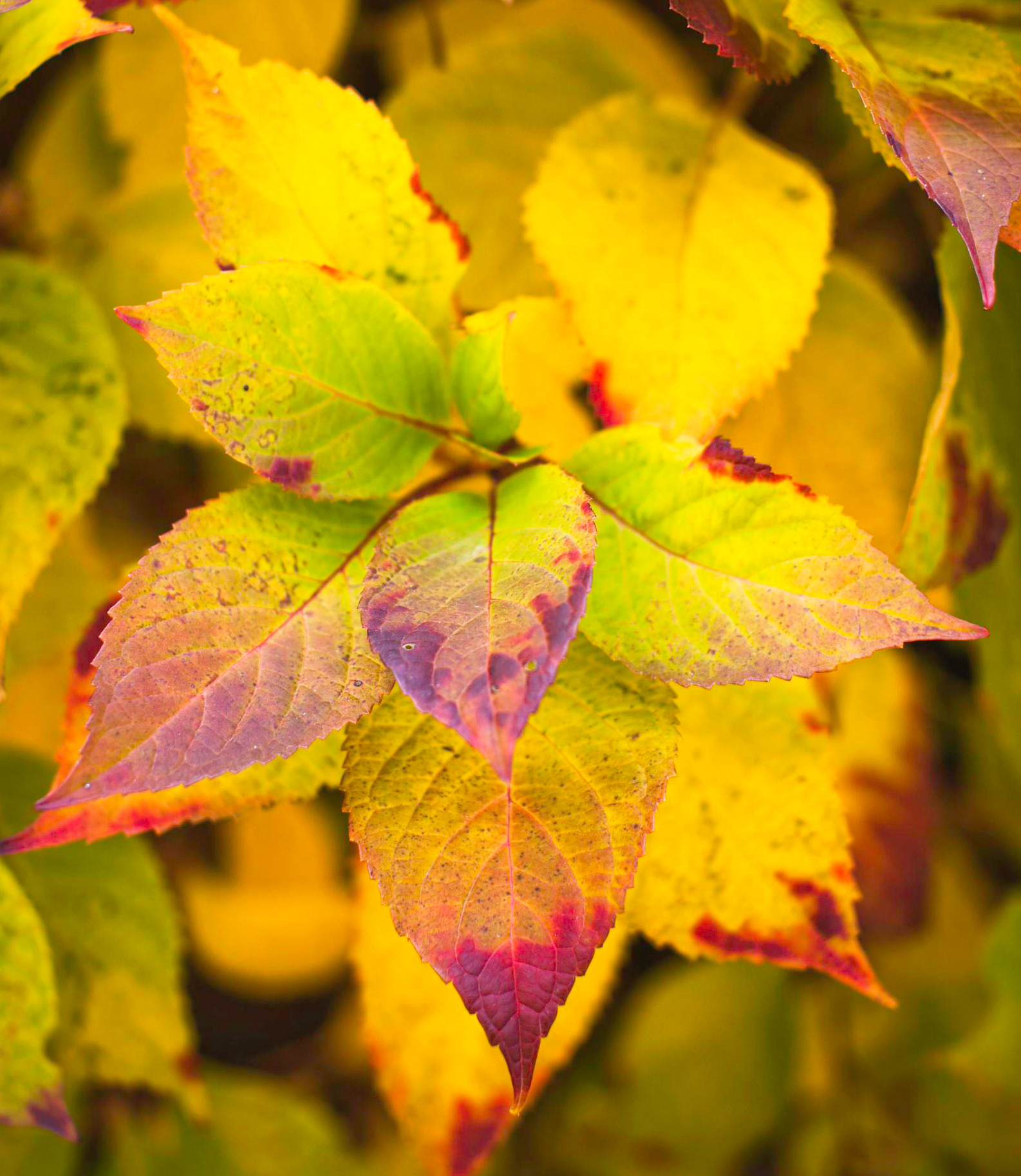 Fall garden ideas: Mophead hydrangea