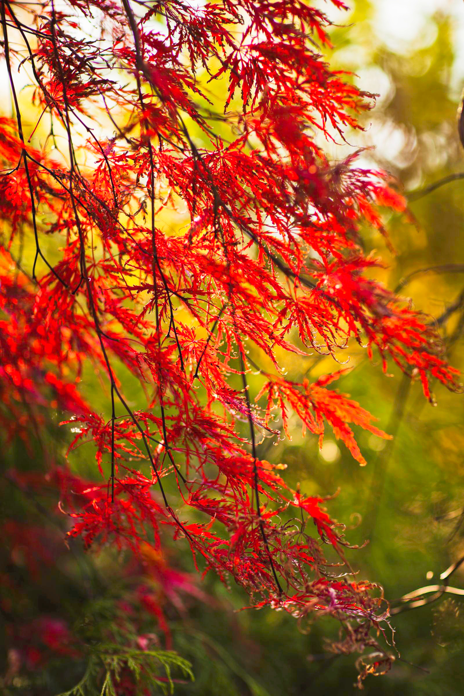Fall garden ideas: Japanese maple