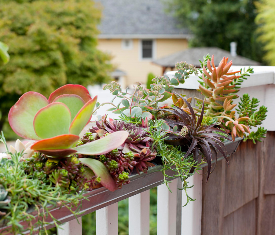 Gutter of succulents