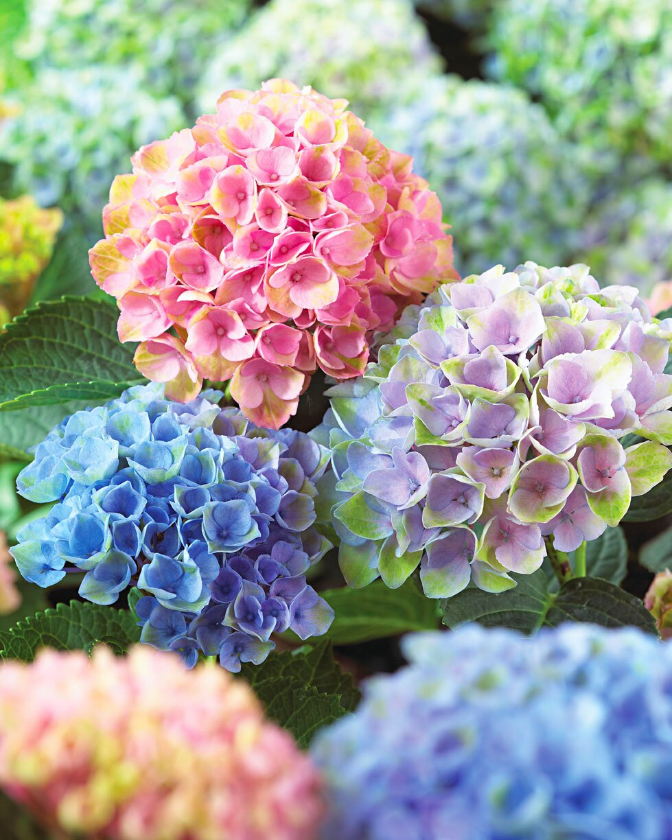 New Hydrangeas For The Midwest Midwest Living
