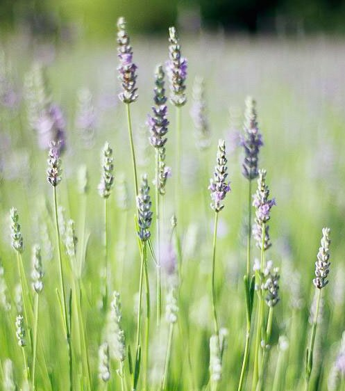 Tips For Growing Cooking And Decorating With Lavender Midwest