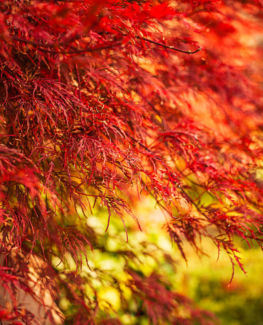 Fall favorites: Lacy Japanese maple