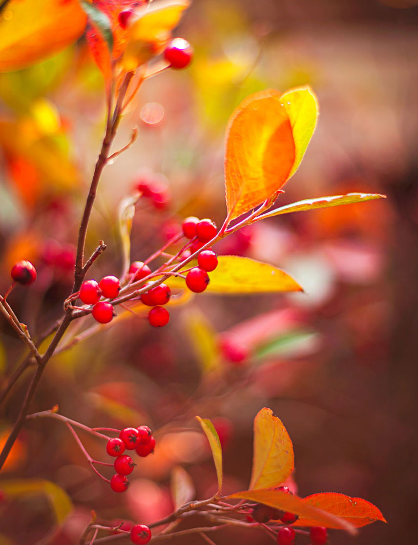 Fall favorites: 'Brilliantissima' chokeberry
