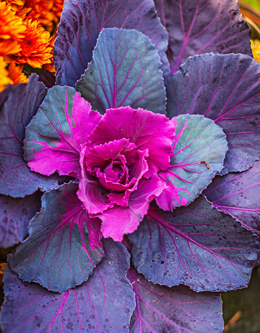 Fall favorites: Ornamental kale