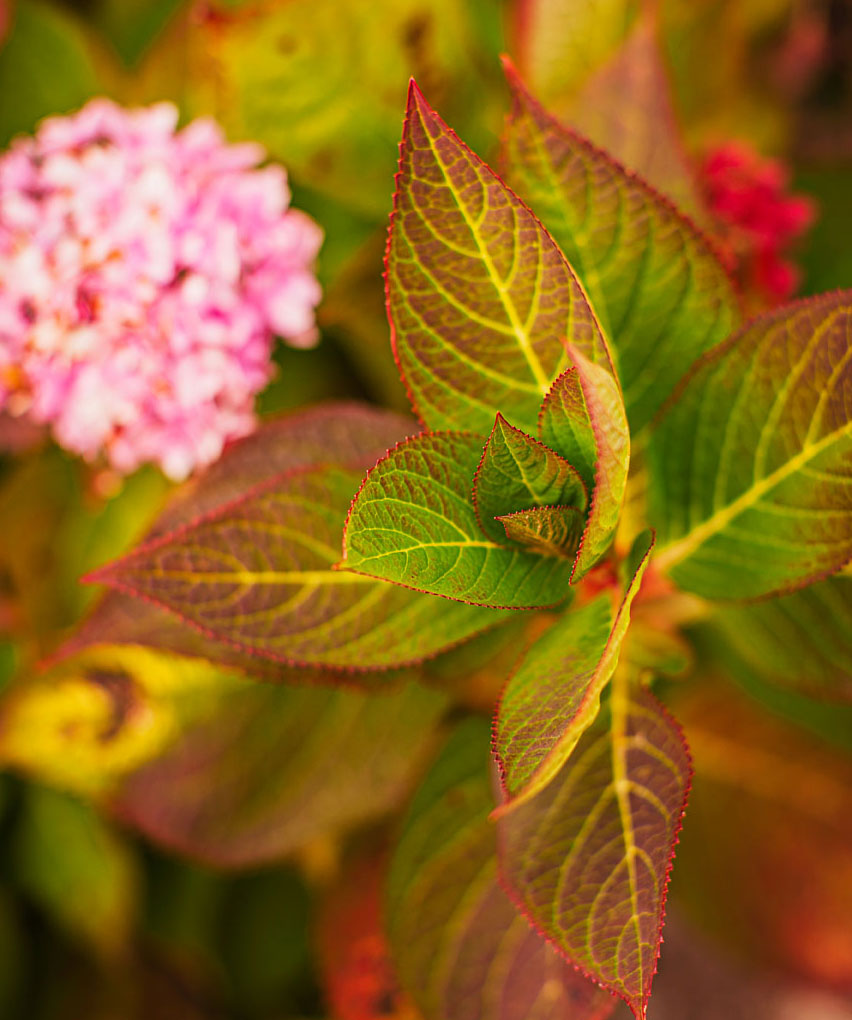 Fall favorites: Endless Summer hydrangea