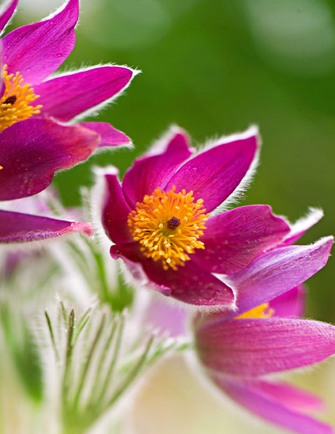 Native cottage plants: Pasque flower