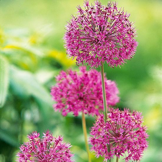 Top bulb pick: allium