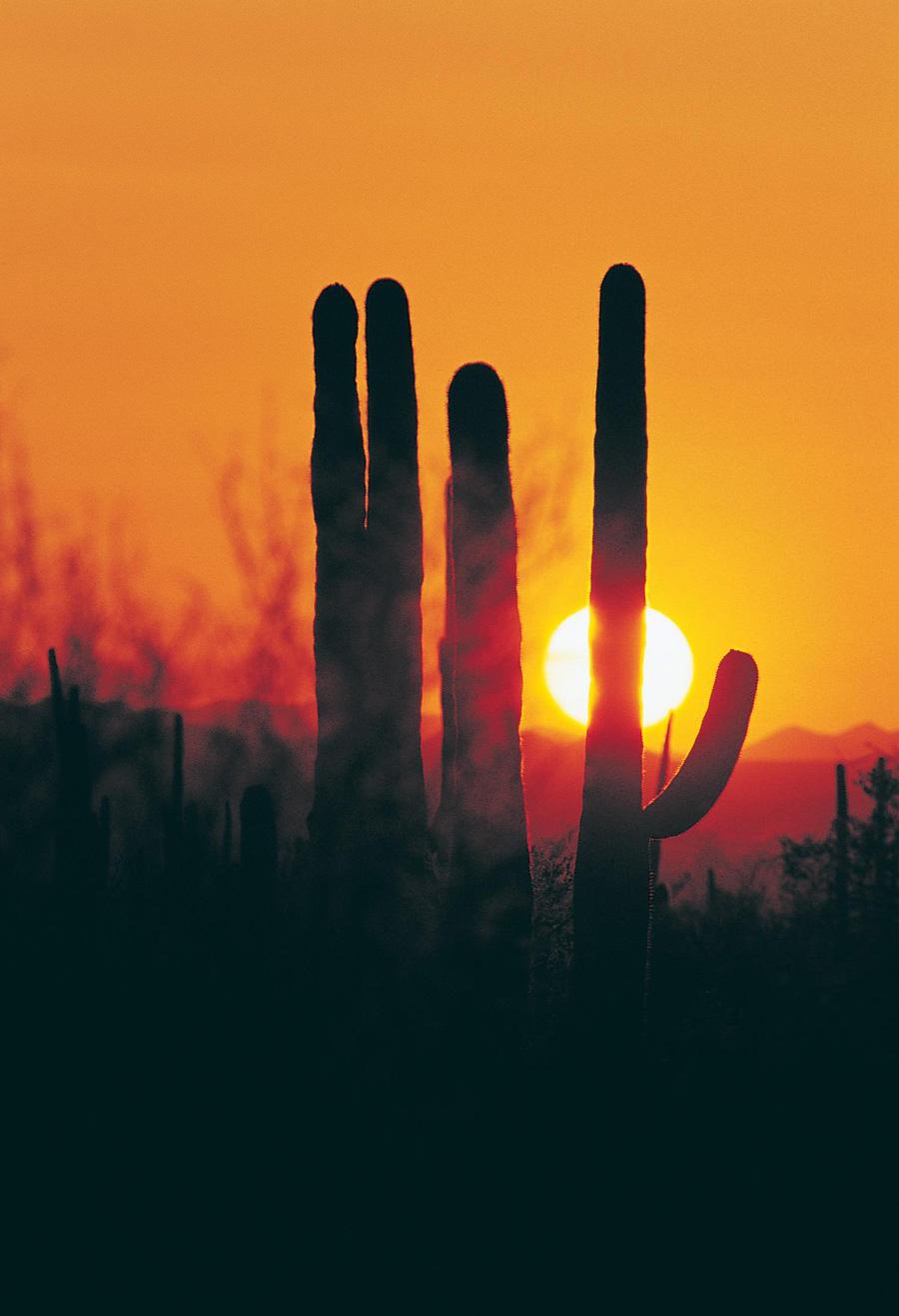 Saguaro silhouettes