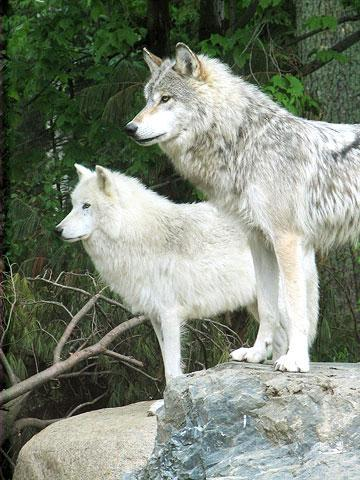 Ely, Minnesota: International Wolf Center and North American Bear Center