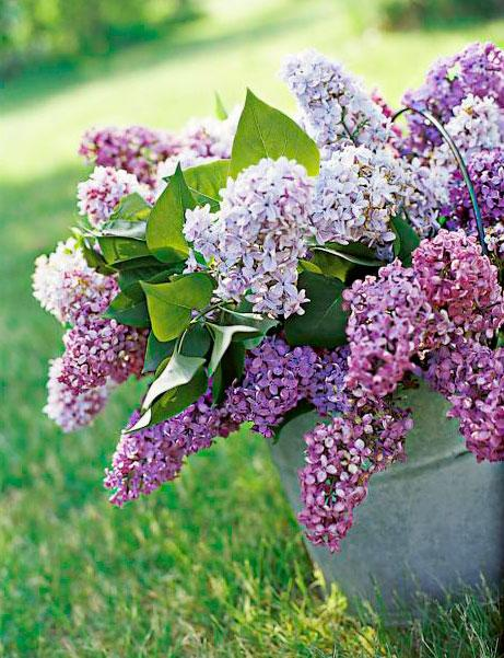 Lilacs: Spring's favorite perfume