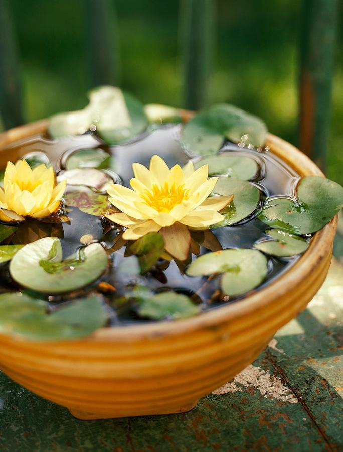 Mini lily water garden