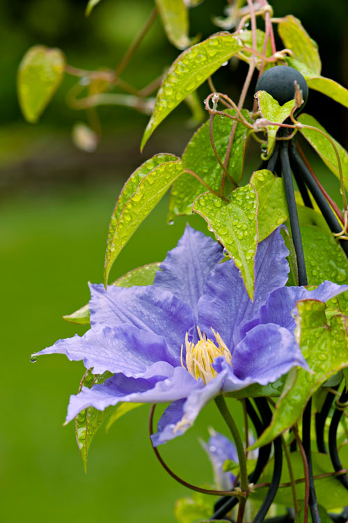 Clematis 'Will Goodwin'