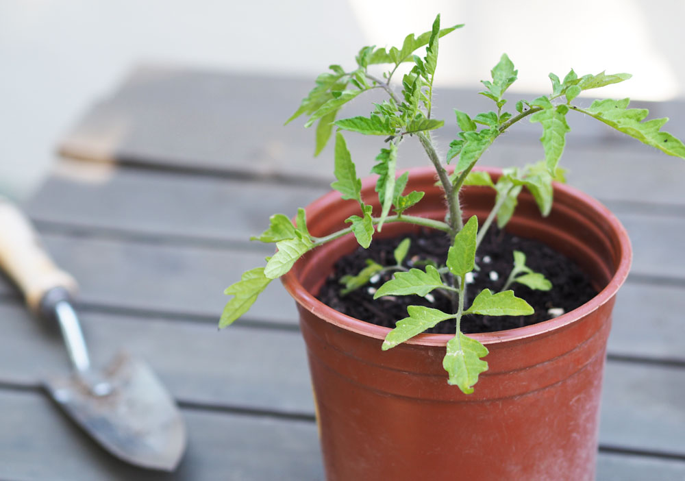 growing-tasty-tomatoes-seedling