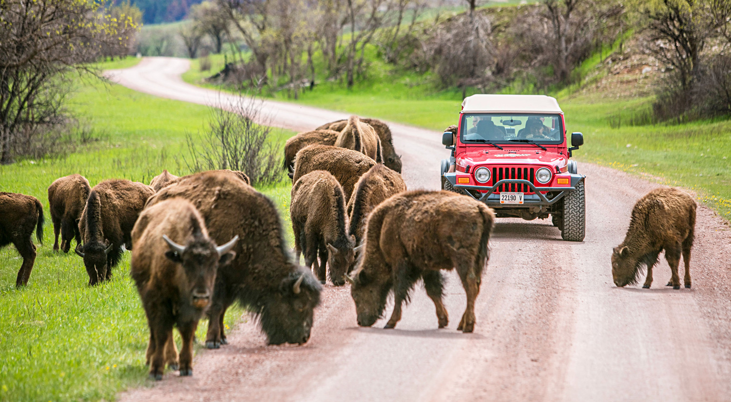Bison at Custer State Park