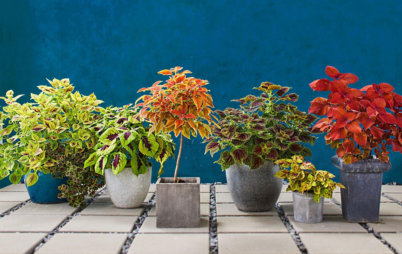 7 Stunning Coleus Varieties Midwest Living