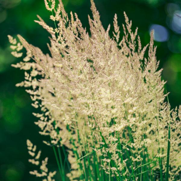 'Karl Foerster Reed Grass'