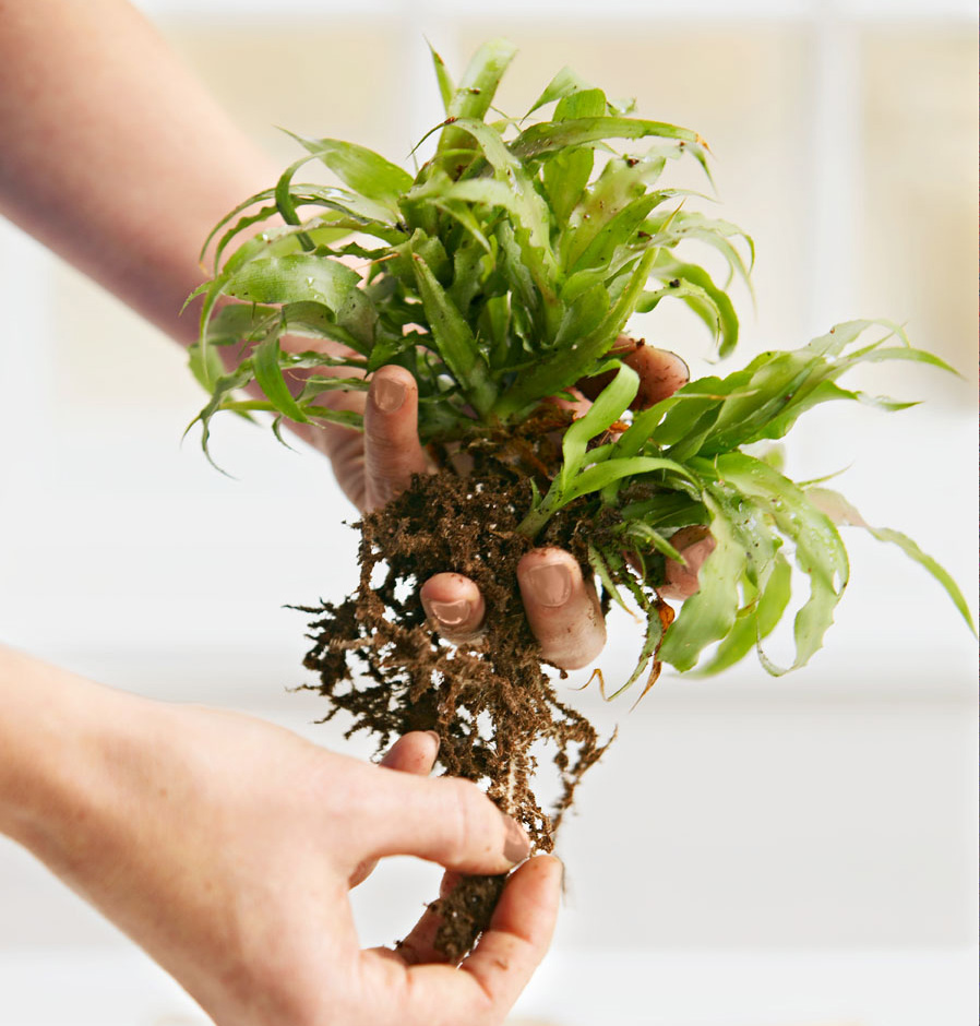 Remove potting soil kokedama