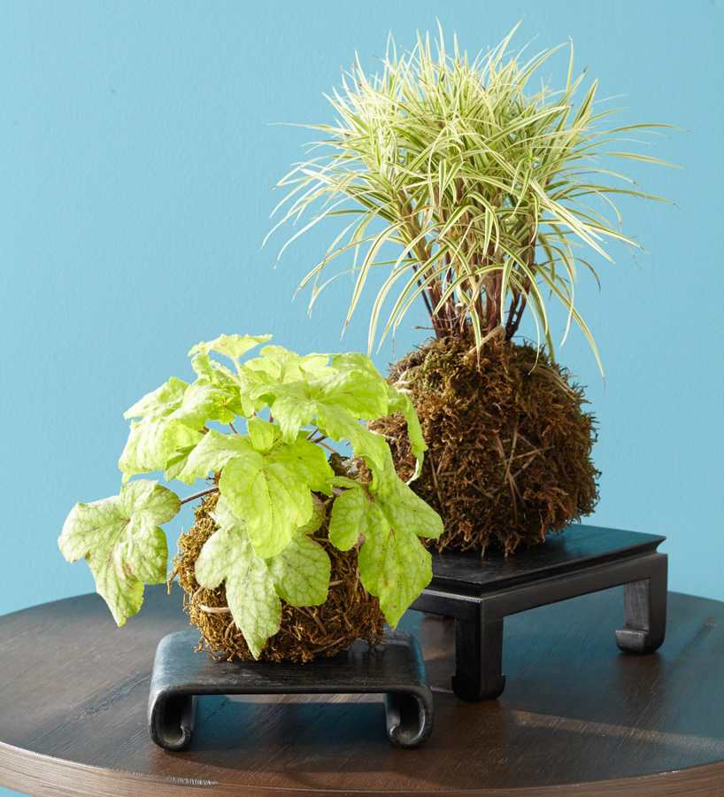 Kokedama display on table