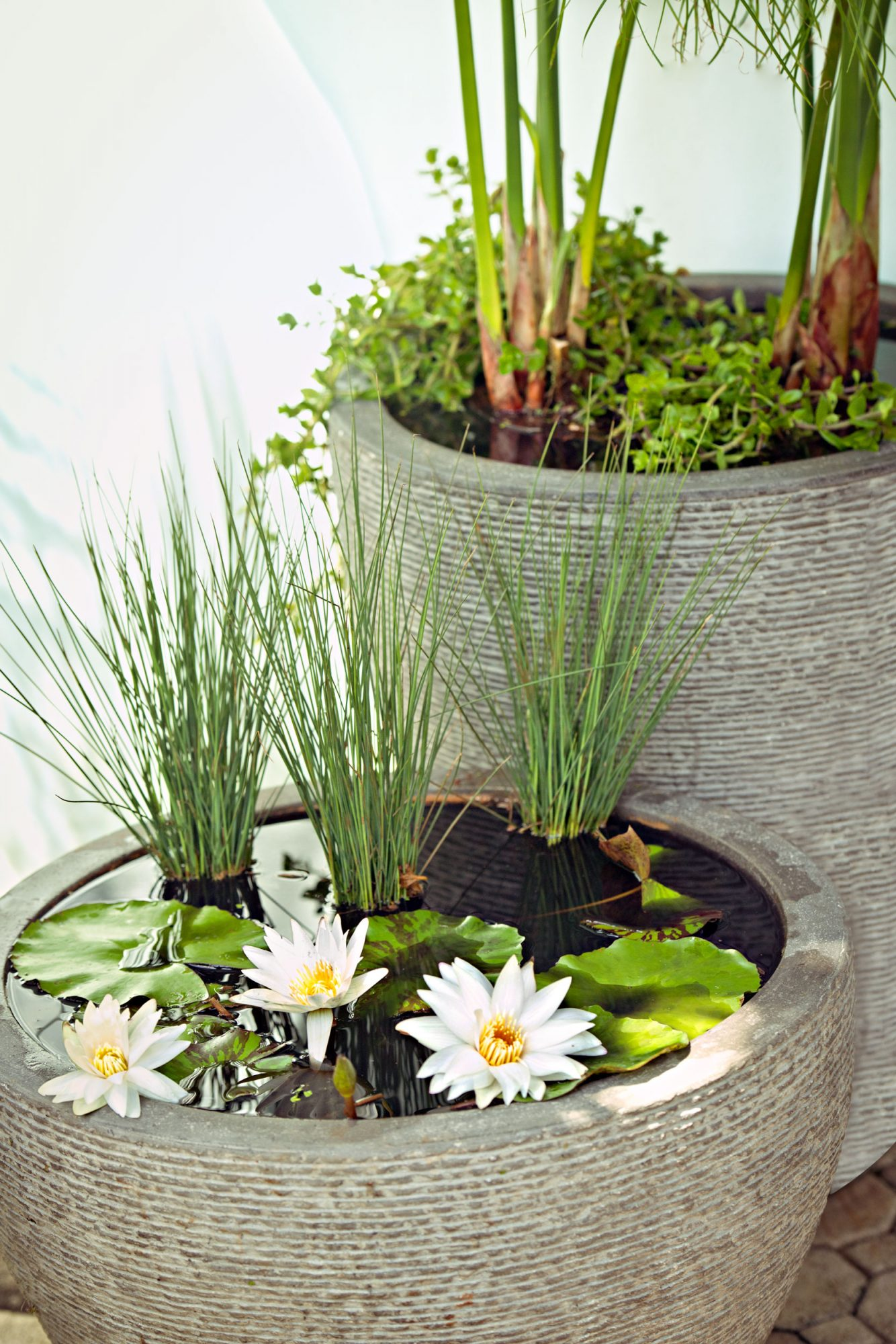 Water lily container garden