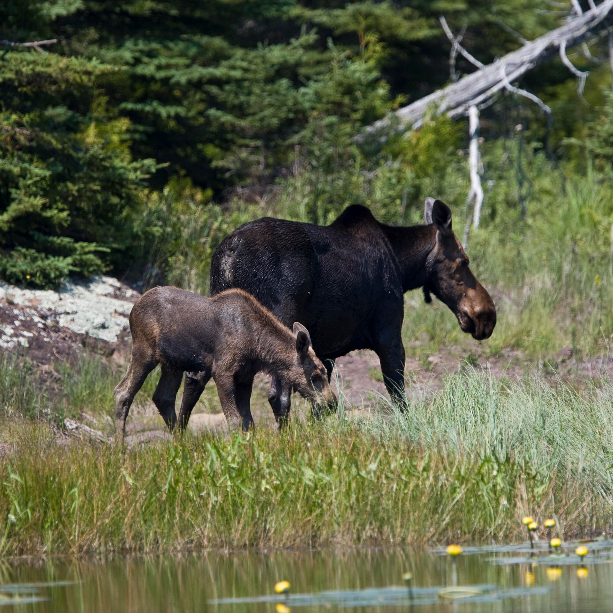 Moose at Isle Royale National Park
