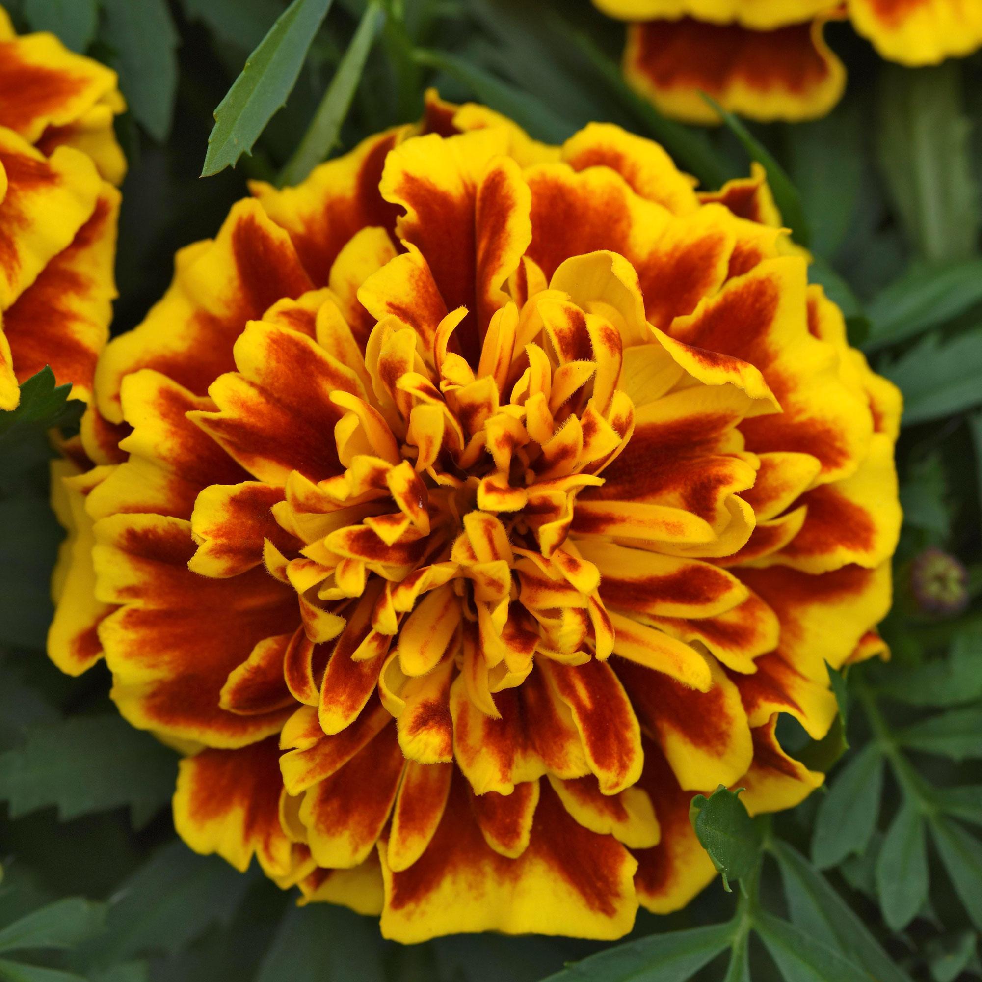 Bonanza Bee Marigold