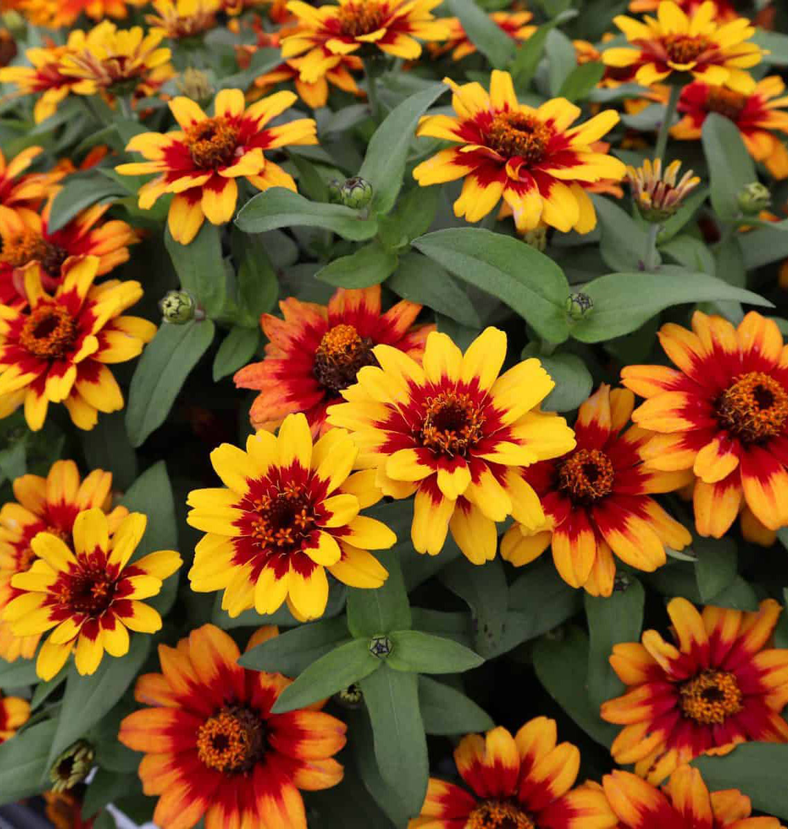 Profusion Red Yellow Bicolor Zinnias