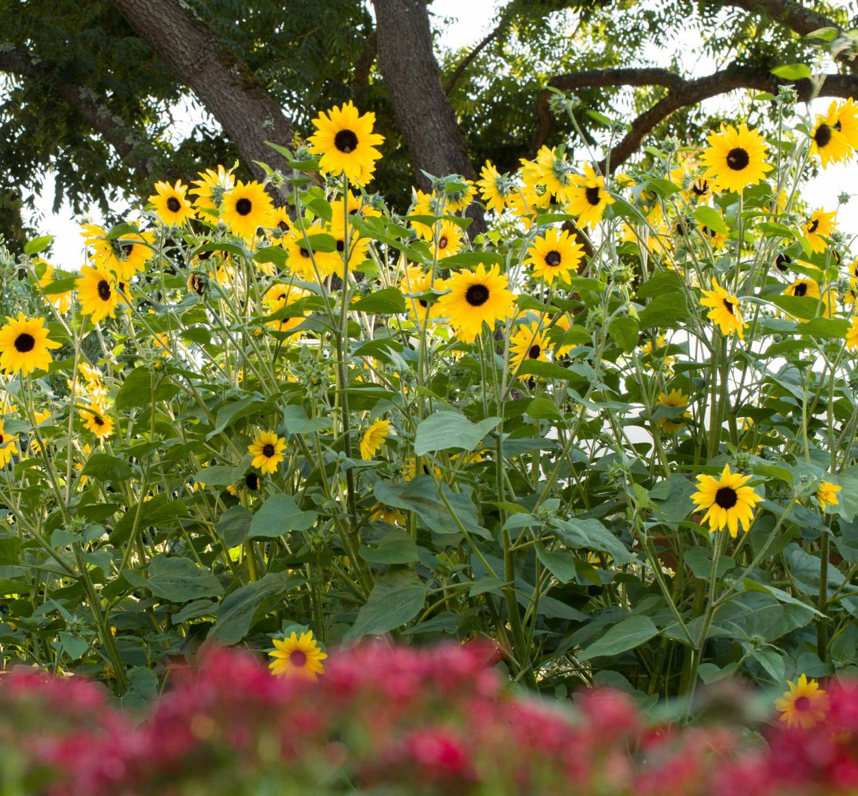 "'Sunfinity"" Sunflower"