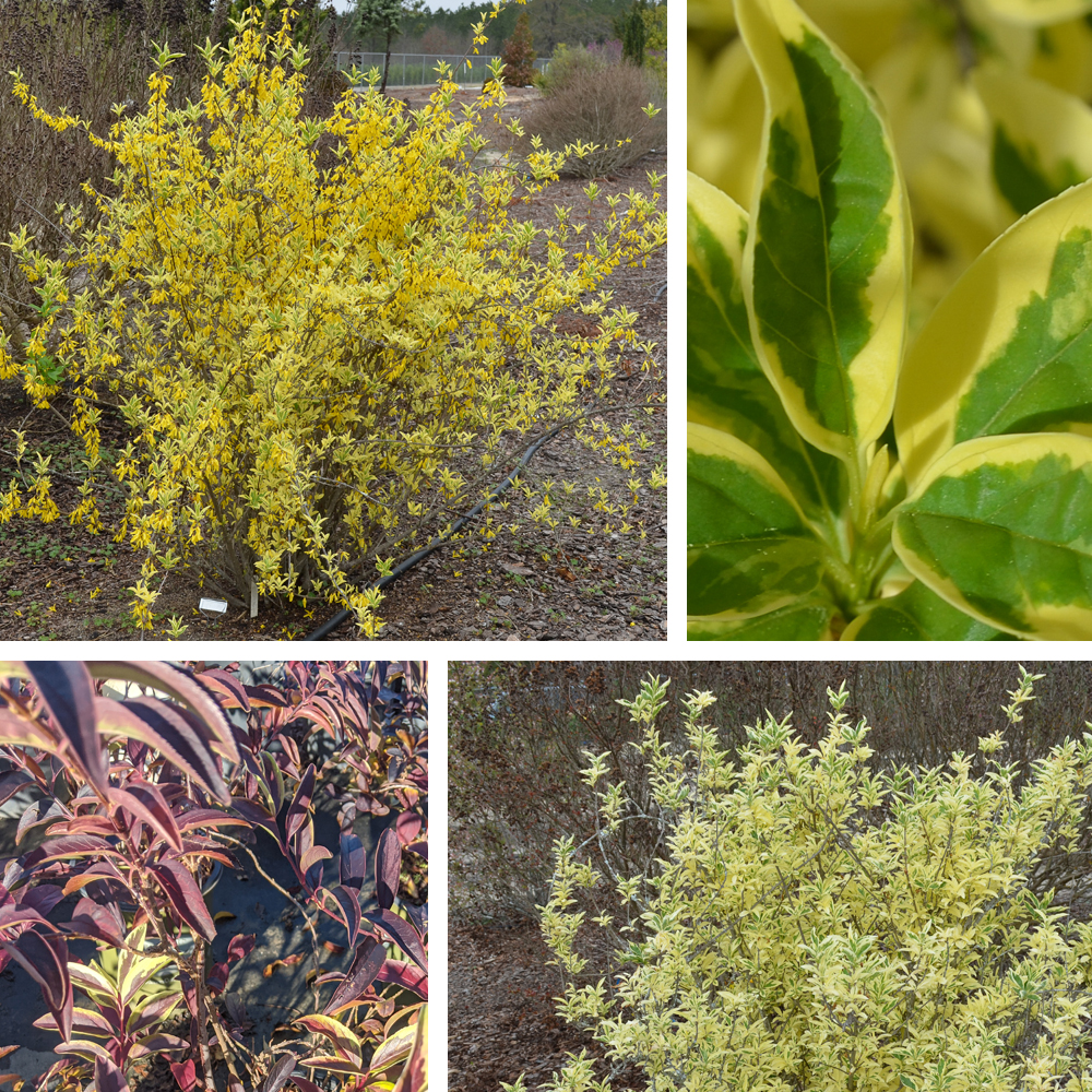 'Believe It Or Not' Forsythia