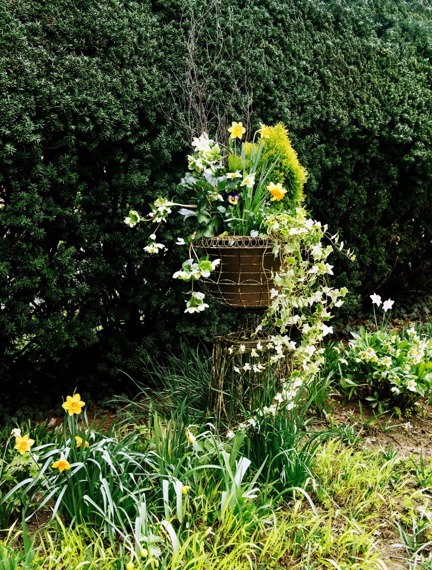 Daffodils in Ohio