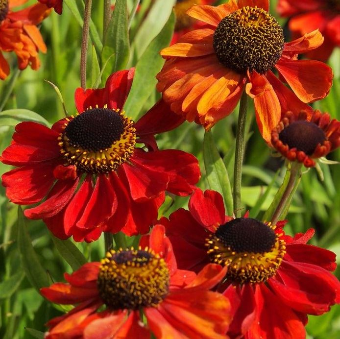 Helenium autumnale 'Red Army'