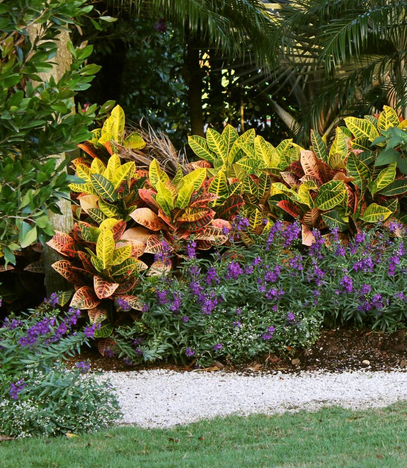 Croton plant border