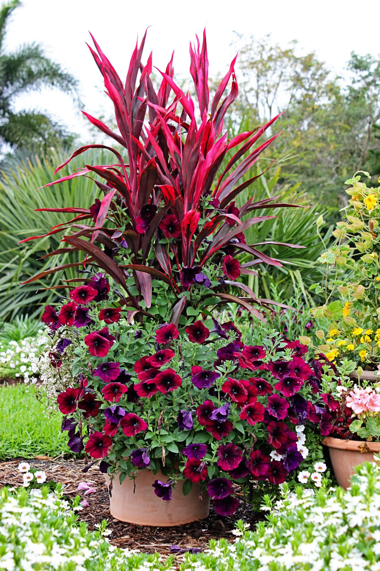 Container garden - Cordyline Red Sister - Petunia Velour Wave - Costa Farms