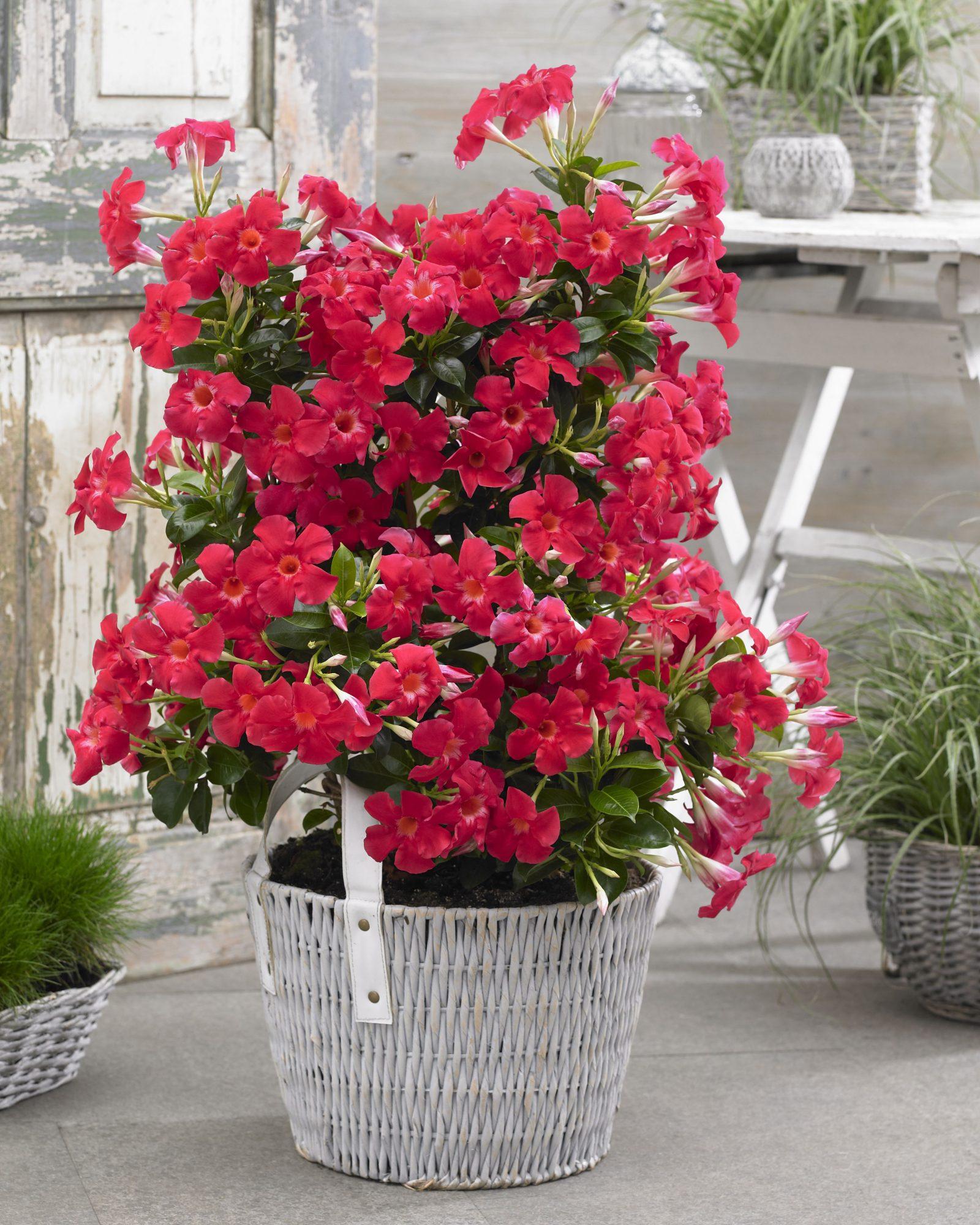 Sundenia Coral plant