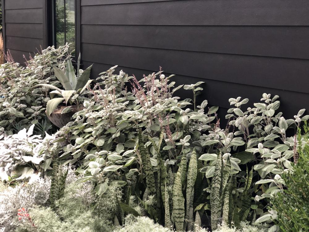 Silvery plants