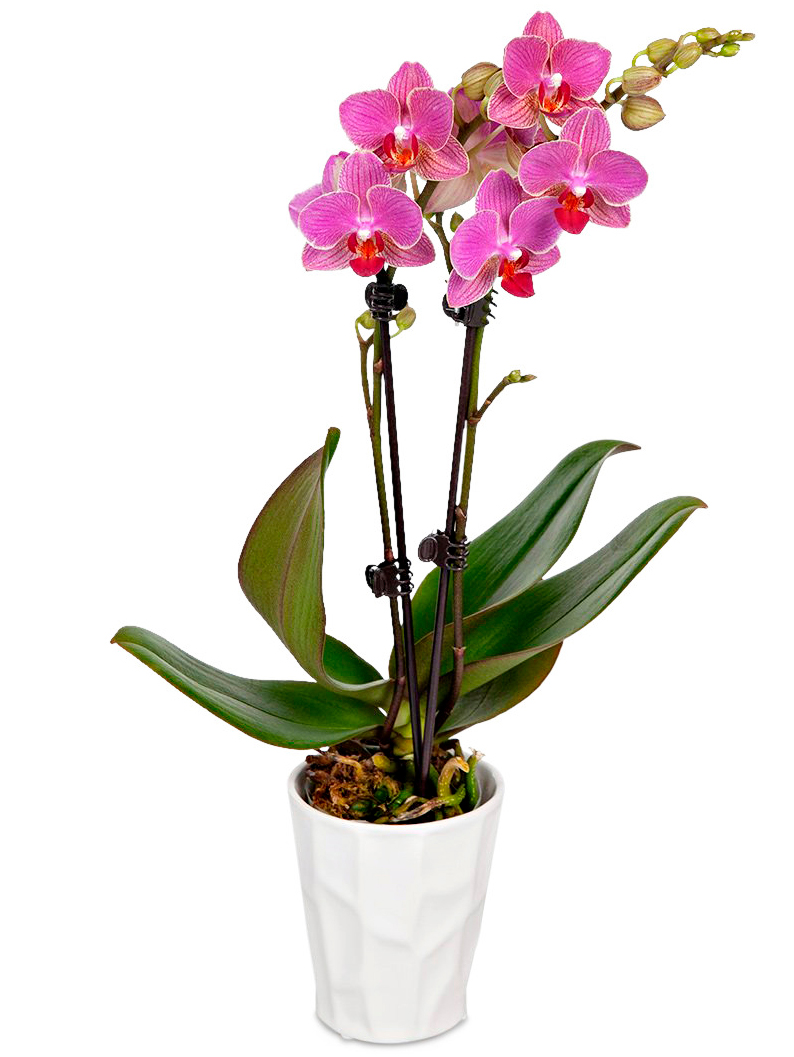 pink potted orchid white plant pot